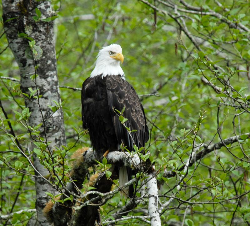 by: COURTESY PHOTO: TILLAMOOK FOREST CENTER - Bald Eagles are efficient hunters and scavengers and rely on streams and rivers in the Tillamook State Forest. Learn about them this weekend through a free staff talk and tour at the Tillamook Forest Center.