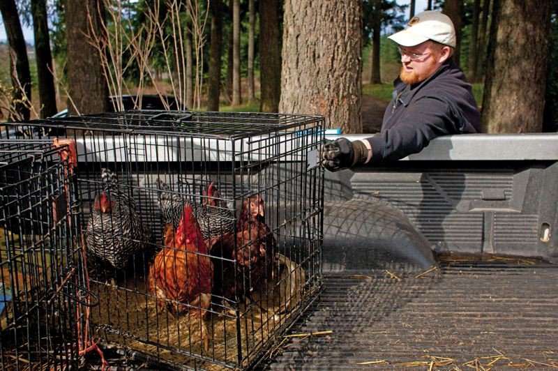 by: TRIBUNE PHOTO: CHRISTOPHER ONSTOTT - Estacada chicken farmer Pete Porath and his efforts to place old chickens in retirement homes were featured in The New York Times.
