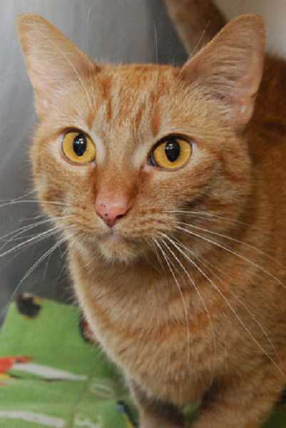 by: CAT ADOPTION TEAM - Grace, an orange tabby, is one of two cats found in a Tigard Dumpster over the weekend.