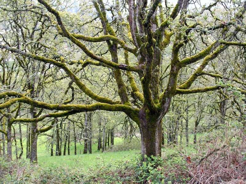 by: SUBMITTED - The White Oak Savanna is 14 acres of preserved and restored land in West Linn.