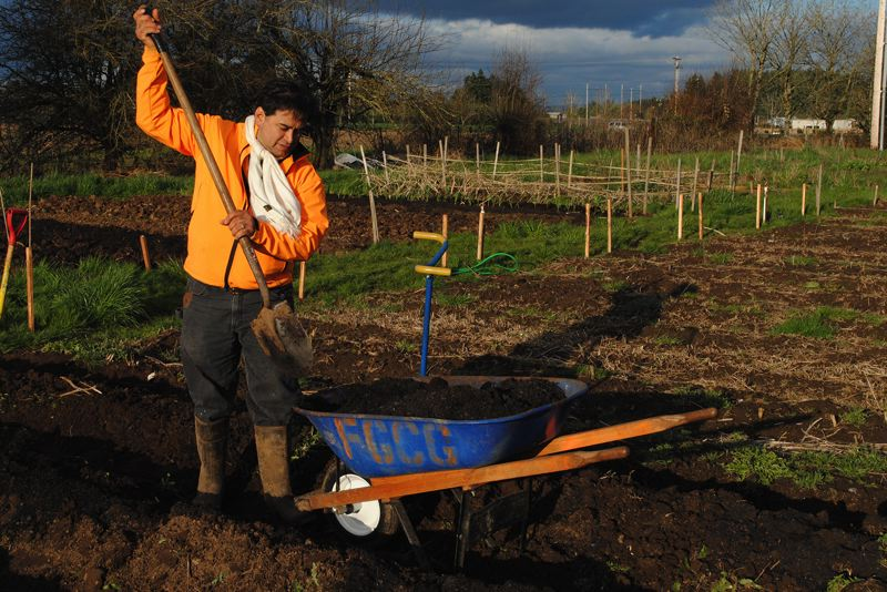by: NEWS-TIMES PHOTO: STEPHANIE HAUGEN - Jose Alvarez prepares his plot for the first time in Forest Grove´s Victory Gardens as he tries to remember all of the advice from the classes he took through Adelante Mujeres.