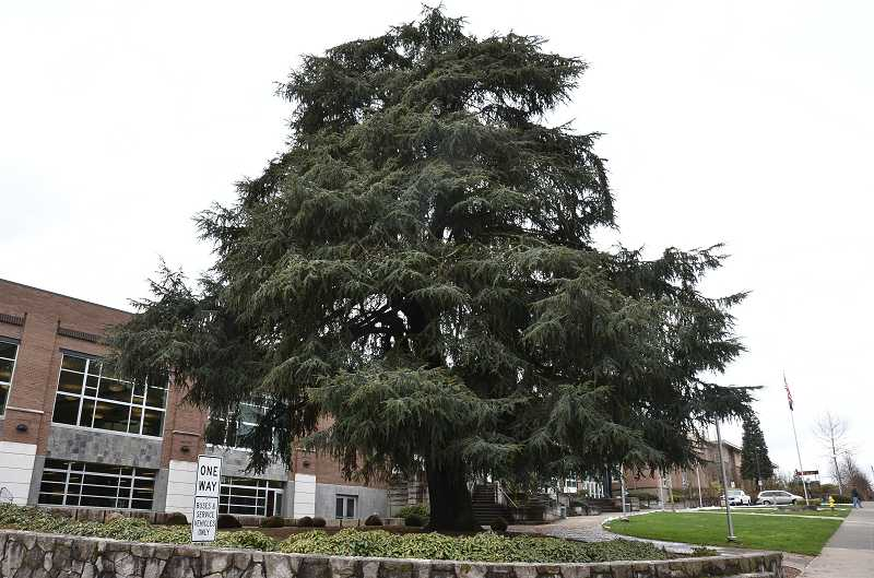 by: VERN UYETAKE -  This tree in front of West Linn High School is one of the city's heritage trees. It was planted in 1933.