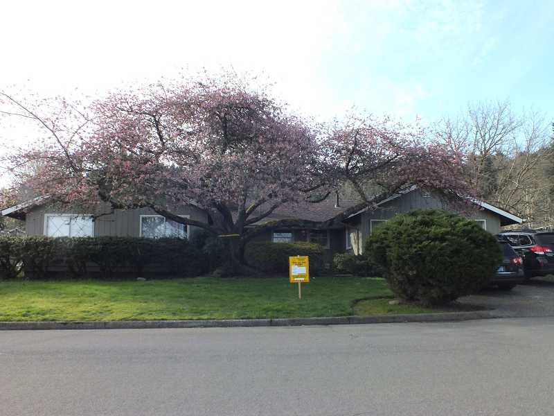 by: SUBMITTED PHOTO -  This tree on Hemlock Street could be cut down, and Lake Oswego resident Ann Lackey is not happy.