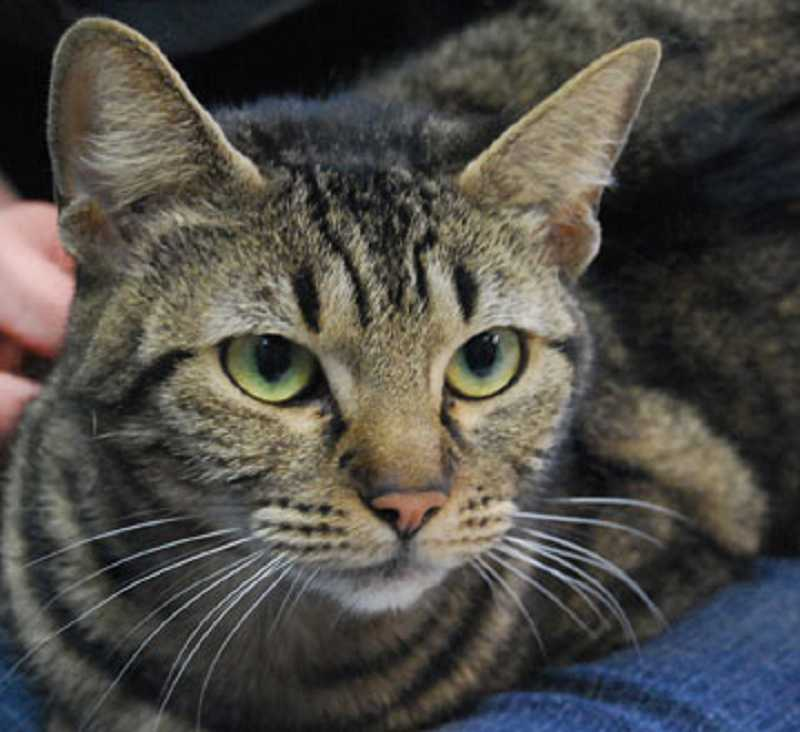 by: CAT ADOPTION TEAM  - Hazel was one of the cats found in a Dumpster in Beaverton on March 23. He and his bonded companion Hazel were recently adopted.