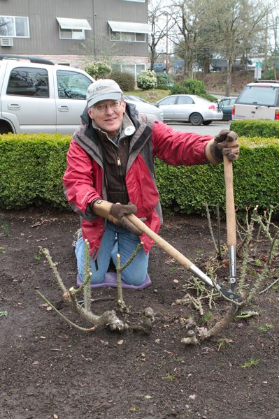 by: DAVID F. ASHTON - Volunteer John Linngren prunes the old gentleman of the garden the one thought to be the first rose bush planted at the Oaks Pioneer Church, the picturesque building near the Sellwood Bridge rented by SMILE for weddings and other events.