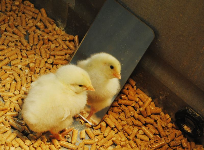 by: HILLSBORO TRIBUNE PHOTO: STEPHANIE HAUGEN - A lonely chick is a stressed chick. If nothing else, put a mirror in with your chick to give it company.