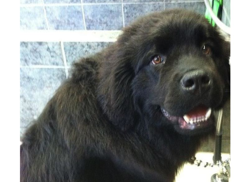 by: SUBMITTED PHOTO - Borris, a Newfoundland puppy diagnosed with severe aortic stenosis, will be the star attraction at a kissing booth, just outside Milwaukie City Hall on May 3, during First Friday.