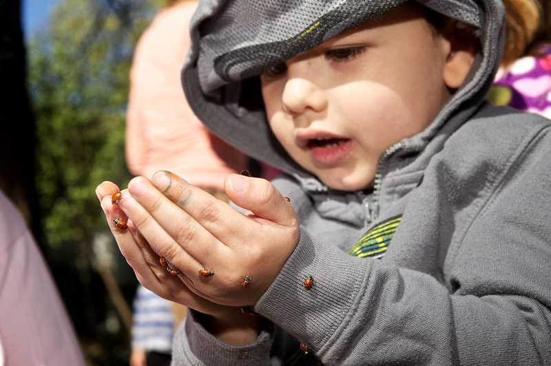 by: JAIME VALDEZ - Carter Podd, 3, watches several ladybugs crawl on his hands before releasing them into a garden at Touchstone School on Southwest Fir Loop, in Tigard.