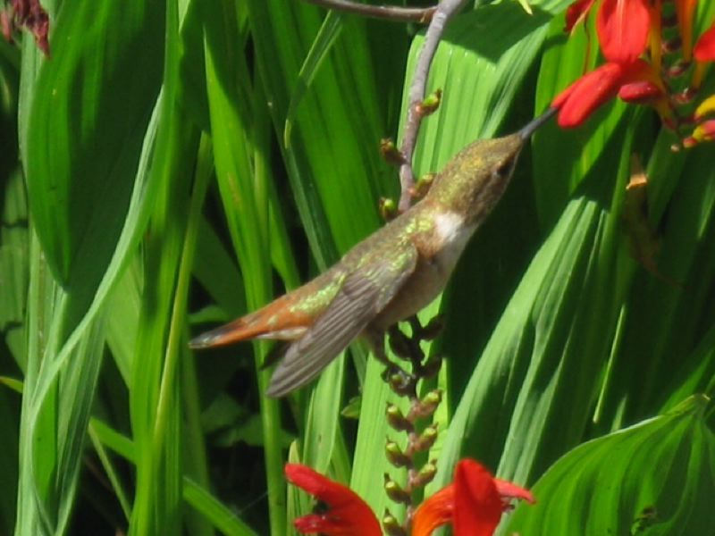 by: COURTESY OF OREGON DEPARTMENT OF FORESTRY  - Hummingbird feasts on red flower
