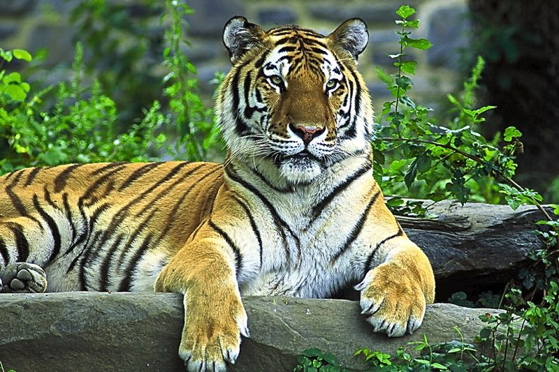 by: CONTRIBUTED PHOTO - CONTRIBUTED PHOTO One Sandy man has a plan to save the Siberian tiger, one of the eight wild tiger sub-species.