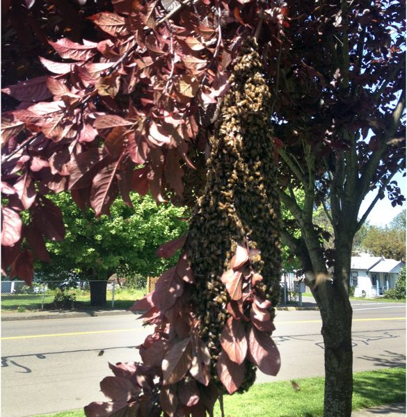 by: PHOTO: GARY LEWIS - Bees converge on a tree outside of the junior high school.