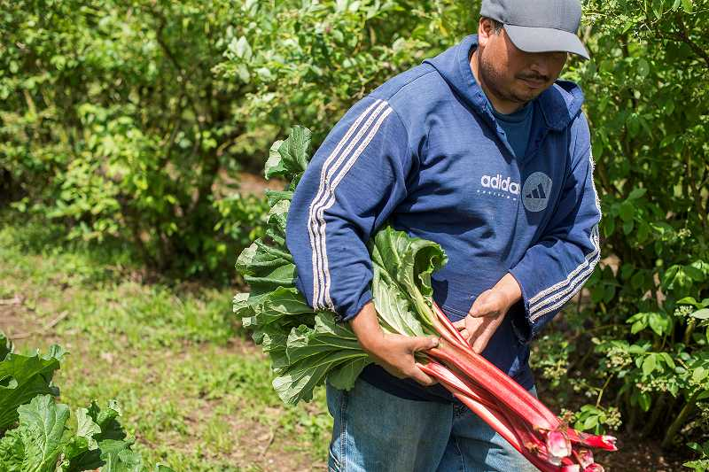by: NEWS-TIMES PHOTO: CHASE ALLGOOD - Sandro Chavez of Cornelius harvests rhubarb for Wednesdays first farmers market of the season in Forest Grove.