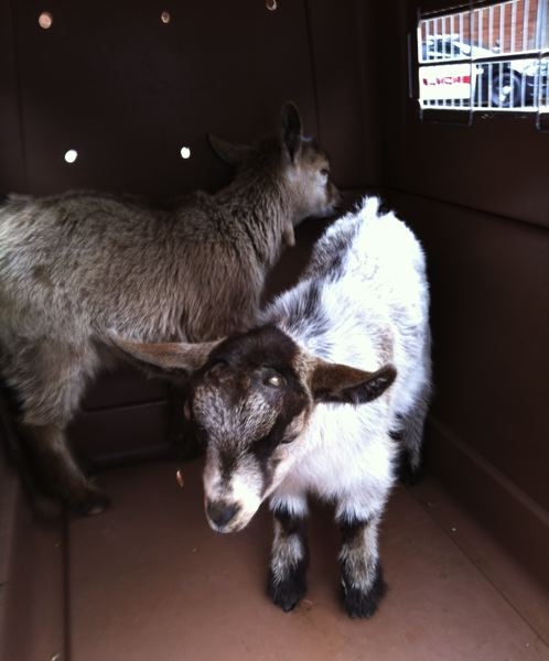 by: PHOTO COURTESY: MILWAUKIE POLICE DEPARTMENT - Two baby goats reported to be running amok in traffic near the 5100 block of King Road in Milwaukie are taken into protective custody at the Milwaukie Public Safety Building on Harrison Street.