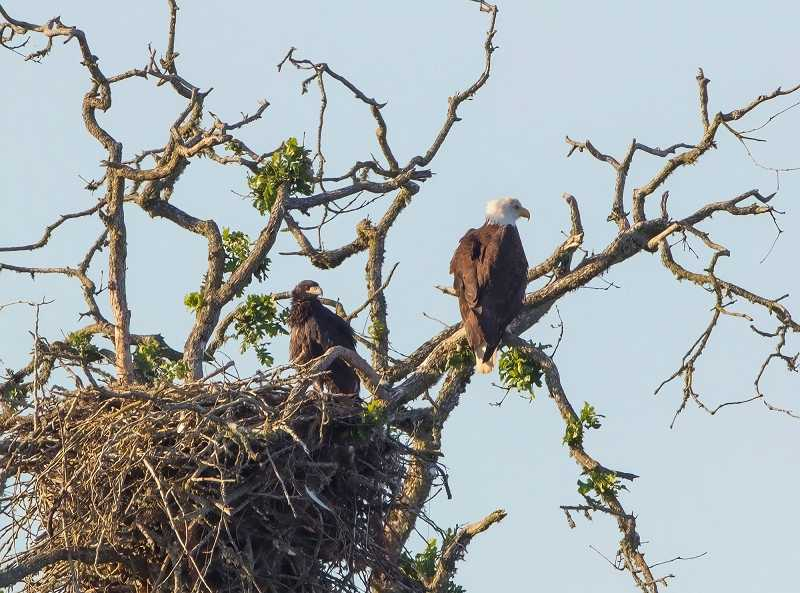 by: COURTESY OF TOM DARNALL - Here's another shot of the eagle family that has made a home at the Tualatin River Naitonal Wildlife Refuge.