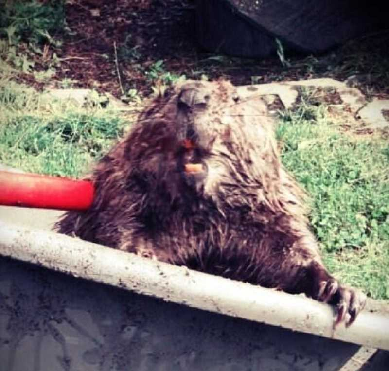 by: SUBMITTED PHOTO - A snapshot of the beaver after it was captured in the wheelbarrow.