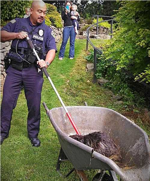 by: SUBMITTED PHOTO - Once secured in the wheelbarrow, the beaver was released into the Willamette River.