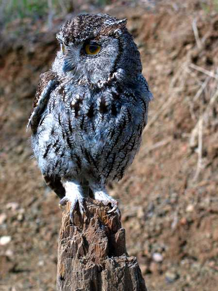 by: COURTESY PHOTO - A Western Screech owl is one of the newest bird species to show up at Chehalem Ridge Natural Area, thanks to restoration work which will continue with Metro levy money.