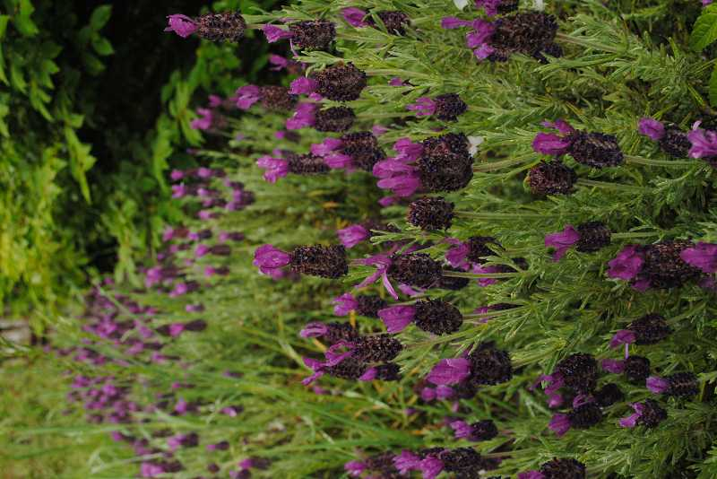 by: NEWS-TIMES PHOTO: STEPHANIE HAUGEN - Spanish lavender brings color for months, and is tasty and fragrant.