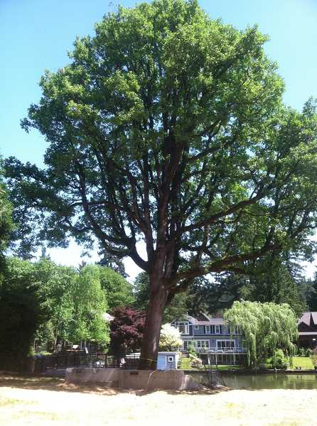 by: SUBMITTED PHOTO - This heritage tree in Lake Oswego is coming down.