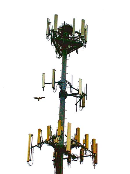 by: RITA A. LEONARD - This osprey stick nest, nestled amidst the topmost antennas on this cellular phone tower just north of Powell Boulevard, houses two babies and two adult birds. One adult is seen here returning to the nest, while the other is out of sight, guarding the nest.