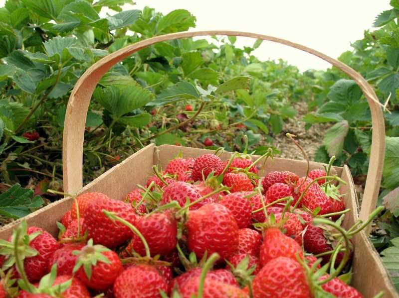by: SUBMITTED PHOTO - Oregon strawberries are prized for their sweet flavor and red color inside and out. Since they are so fragile they are grown primarily for processing. Scientists are working to develop heartier varieties of Oregon strawberrires.