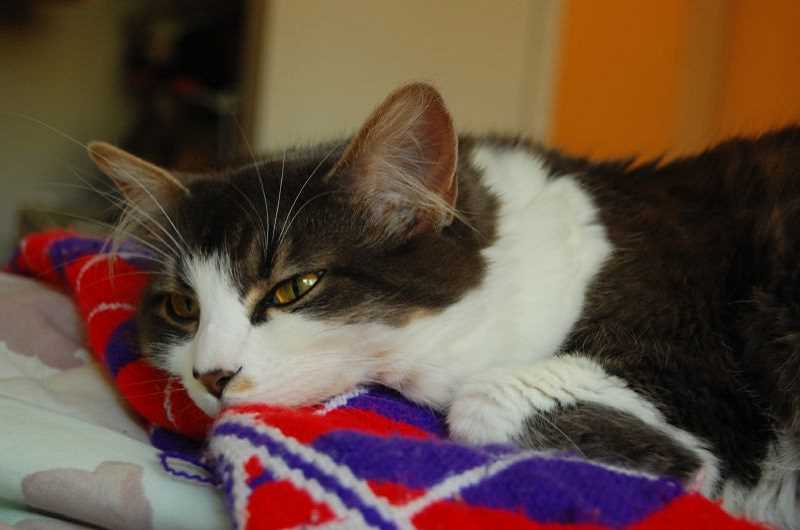 by: CHERYL HILL - Charmin is a former shelter cat adopted by a West Linn librarian in 2006.