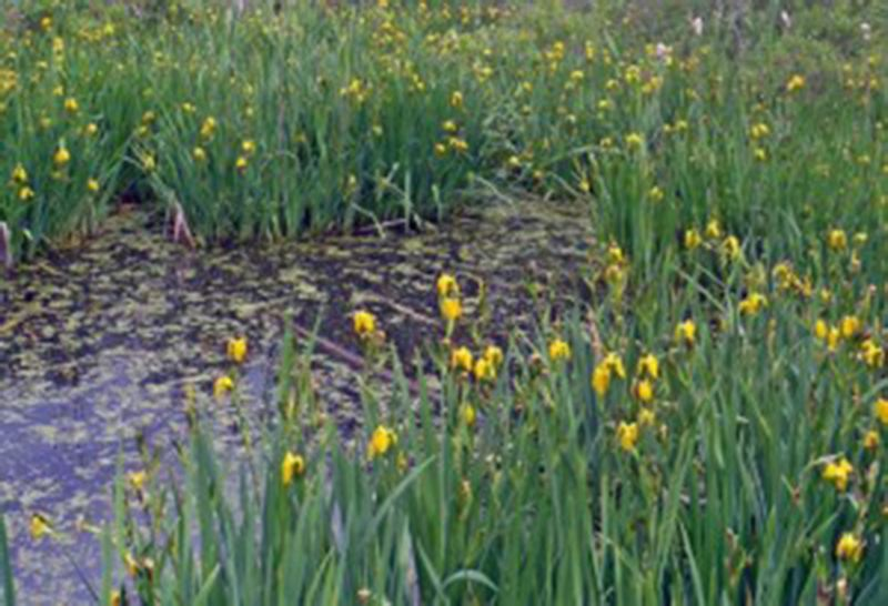 by: COURTESY PHOTO: TUALATIN SOIL AND WATER CONSERVATION DISTRICT - Native Oregon and Douglas irises are good options to replace Yellow Flag Iris.