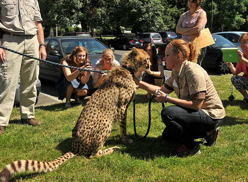 by: REVIEW PHOTO: VERN UYETAKE - Sarah Roy of Wildlife Safari keeps hold of a cheetah allowing Lake Oswego High School students a chance to snap a quick picture.