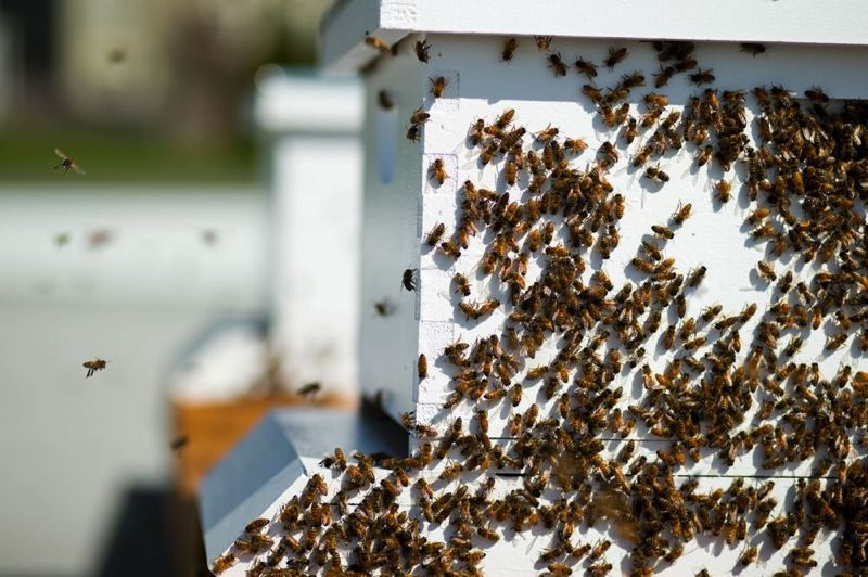 by: TRIBUNE FILE PHOTO: CHRISTOPHER ONSTOTT - Bees will be the guest of honor (sort of) as Portland kicks off its celebration of National Pollinator Week June 17 to 23 on Saturday.