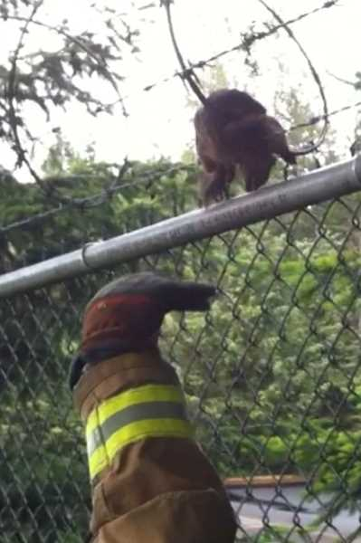 by: SUBMITTED - Lake Oswego firefighters save a squirrel's life during a rescue Thursday evening.