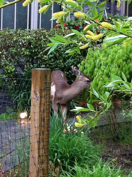 by: SUBMITTED - Deer are notorious for destroying gardens and landscape. Ragged bites on vegetation, typically a foot above ground, are indications they are the culprits of damage.