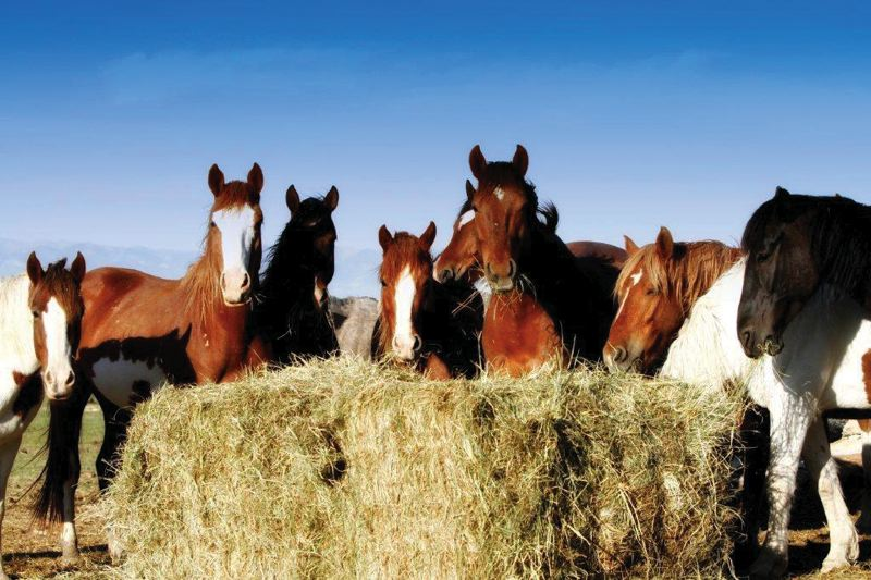 by: ANN TERRY HILL - Wild mustangs feeding.
