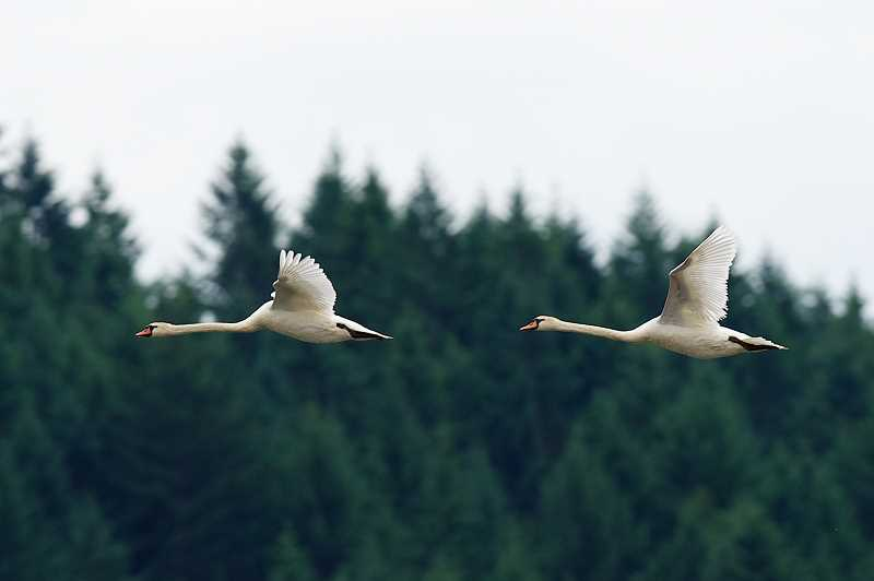 by: COURTESY PHOTO: JACK WILLIAMSON - Mute swans, an invasive species that has migrated to Fernhill Wetlands in Forest Grove from the Eugene area, are trouble, experts say.