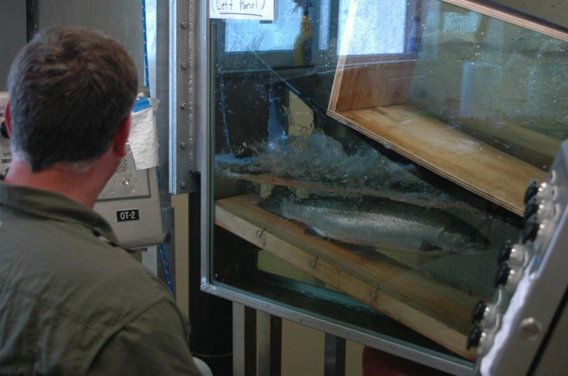 by: ISABEL GAUTSCHI - Biologist Garth Wyatt pauses to identify this fish as hatchery or wild.