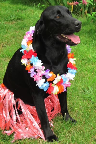 At Apolloni Vineyards--one of 13 participating wineries this summer--owner Laurine Apollonis pooch Samson dressed up last year to welcome guests to the Lickin Luau.