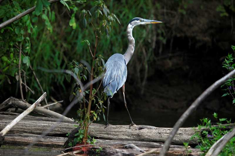 by: JONATHAN HOUSE - A blue heron perches on a log in the Tualatin River.