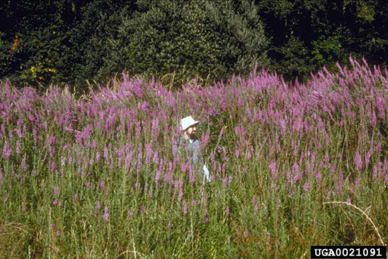by: SUBMITTED PHOTO: OREGON DEPARTMENT OF AGRICULTURE - Purple loosestrife is the weed of the month for July. This invasive species grows to heights of 10 feet.