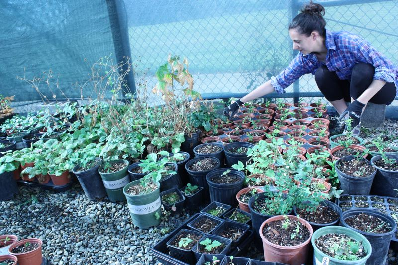 by: SPOTLIGHT PHOTO: ROBIN JOHNSON - Pauline Balducci, an intern studying abroad from Paris, France with the Sauvie Island Habitat Partnership, sets out native plants under a shade cloth in order to acclimate them to the elements.