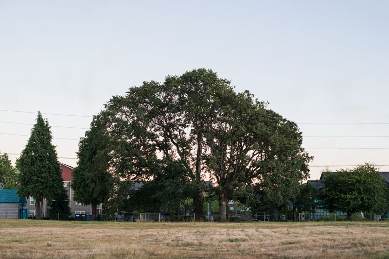 by: HILLSBORO TRIBUNE PHOTO: CHASE ALLGOOD - The Hillsboro Parks and Recreation Commission decided Tuesday that two of three oak trees adjacent to the Orenco MAX station will be saved in the new public plaza. The northern-most one is unhealthy and must come down, though.