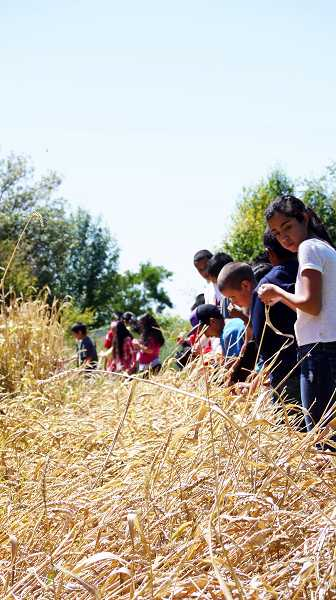 by: COURTESY PHOTO: CENTRO CULTURAL YES-STEAM - Students with the YES--STEAM camp (Youth Empowered Success--Science Technology Engineering Arts Math) get ready to harvest wheat at the B Street Farm. They later ground the wheat and baked it into bread.