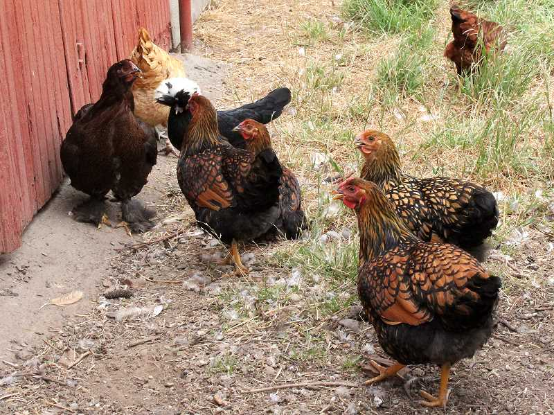 by: LINDSAY KEEFER - Chickens are currently banned within Mount Angels city limits, but new city manager Eileen Stein wants to take another look at the ordinance.