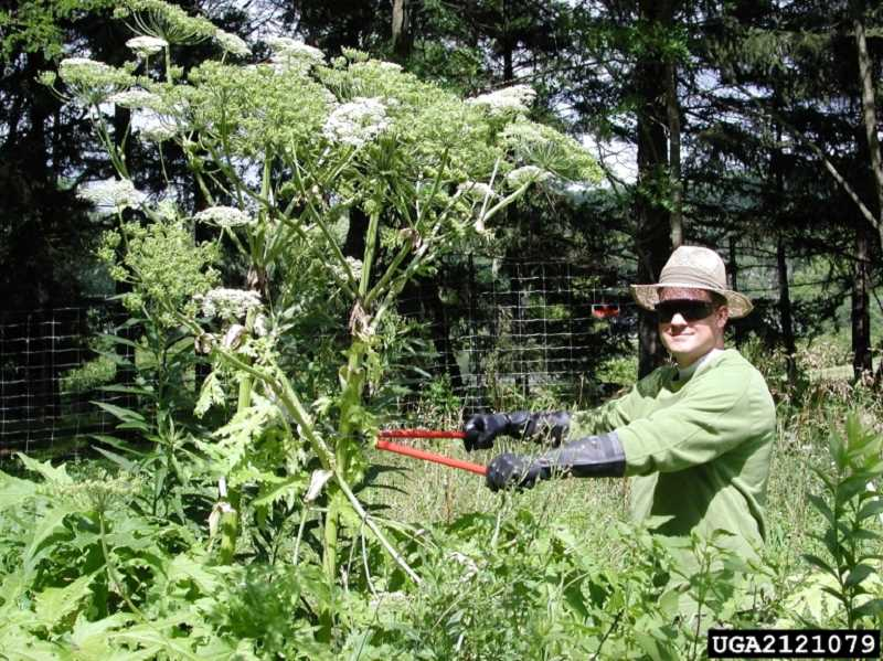 by: SUBMITTED PHOTO - Giant hogweed resembles common plants like Queen Annes lace and cow parsnip but it can cause burns and blindness.