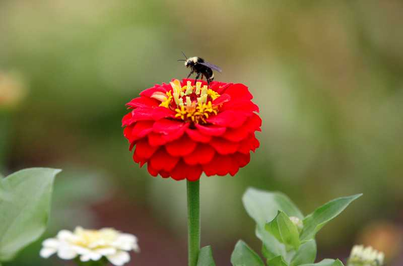 by: TIMES PHOTO: JONATHAN HOUSE - A honey bee lands on a marigold, which was specifically planted to bring more pollinators into the learning garden.