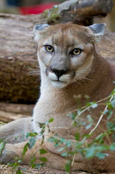 by: KARINE AIGNER - Ken, a cougar, will be among the wildcats leaving Sherwood's Wildcat Haven Sanctuary in the future.