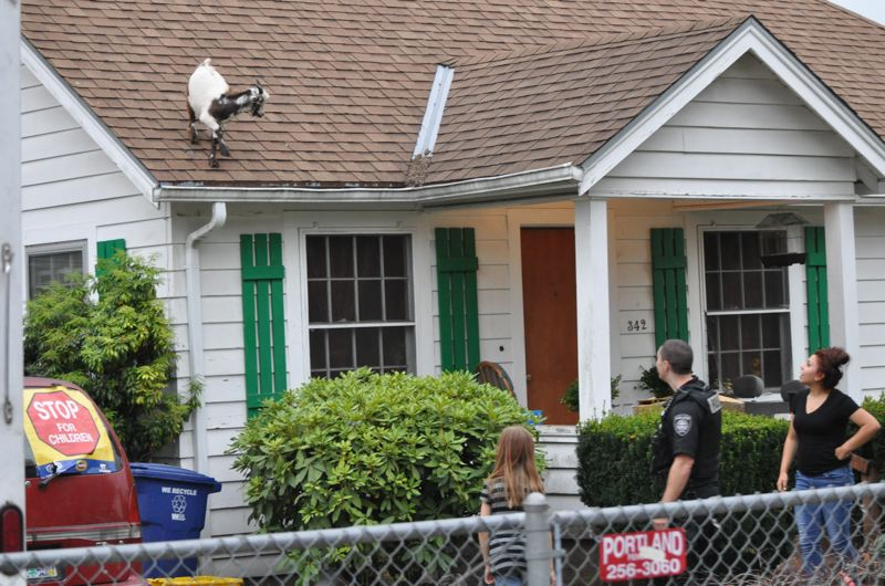 by: COURTESY: GRESHAM POLICE DEPARTMENT - A goat on this rooftop created quite a stir for police and residents.