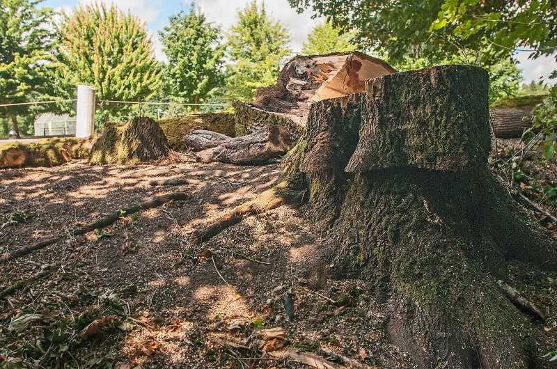 by: JOSH KULLA - This stump is all that remains of a large maple tree in Memorial Park that dropped a sizable limb nearly on top of passersby.