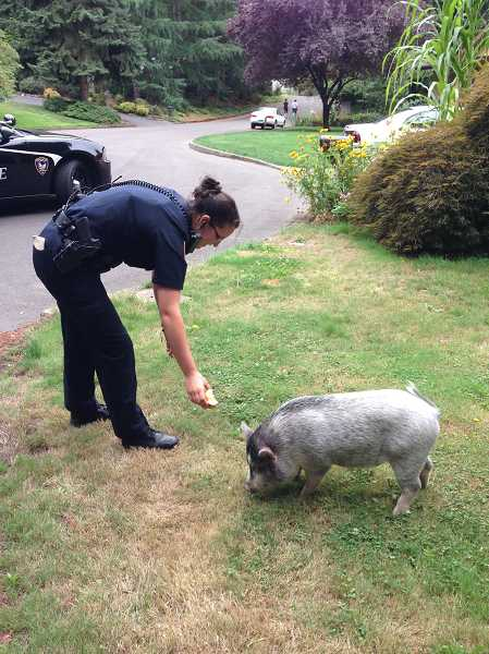 by: SUBMITTED PHOTO - A Tigard Police Officer attempts to catch a runaway pot-bellied pig by coaxing it with an apple. The pig wandered into a yard on Southwest Elrose Court in Tigard, Wednesday.