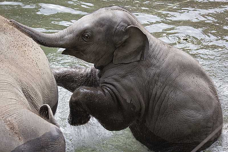 by: CONTRIBUTED PHOTO: KATHY STREET - Lily, a young Asian elephant calf at the Oregon Zoo, splashes with her big brother, Samudra. Zoo visitors can check on the progress of Lily and the rest of the herd during the zoos annual Senior Safari. Anyone 65 or over (along with one companion) can visit the zoo for free on Tuesday.