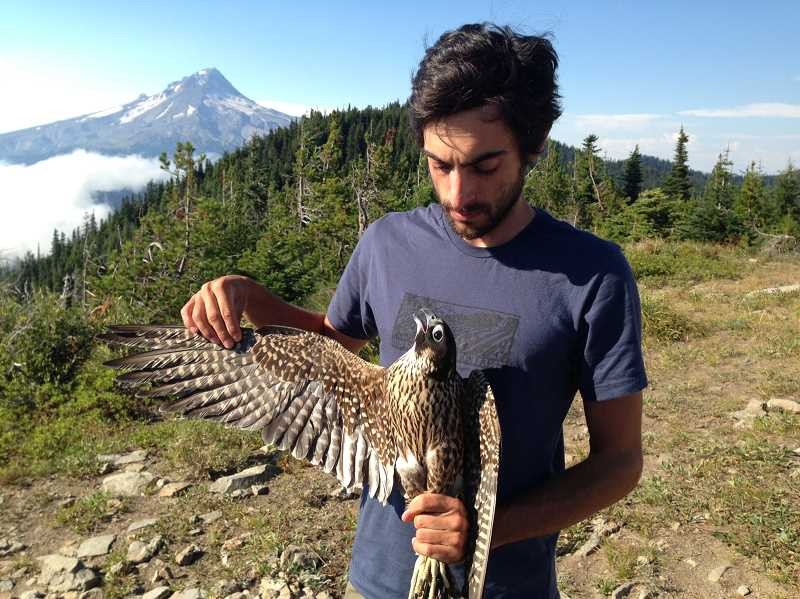 by: CONTRIBUTED PHOTO - HawkWatch volunteer Jade Ajani holds a juvenile peregrine falcon Sept. 10 at the Bonney Butte HawkWatch station.