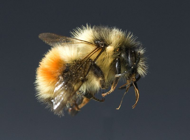 by: COURTESY OF OREGON STATE UNIVERSITY - OSU researchers will fit bumblebees with tiny transmitters, to learn clues about why they are disappearing.